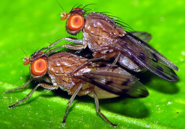 drosophila-fly-sex-flickr-gustavo-lu7frb.jpg